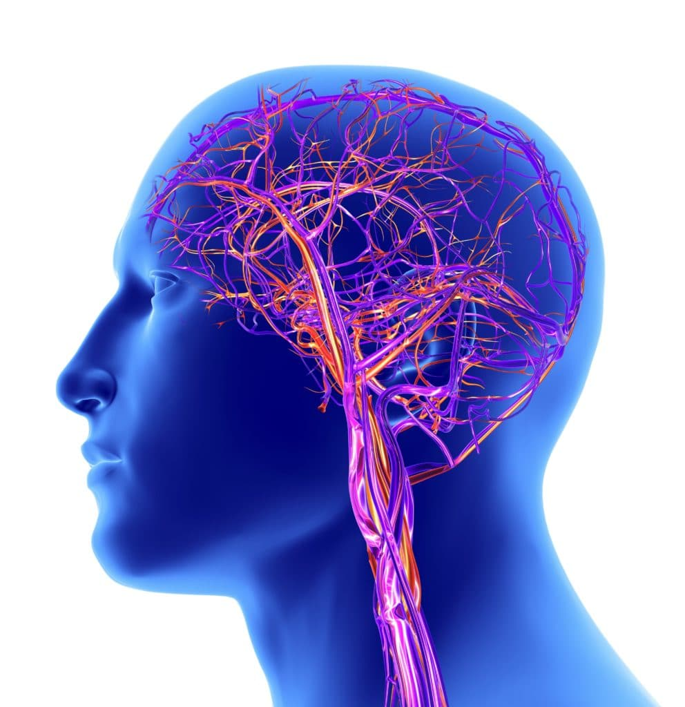 le cerveau et son reseau vasculaire