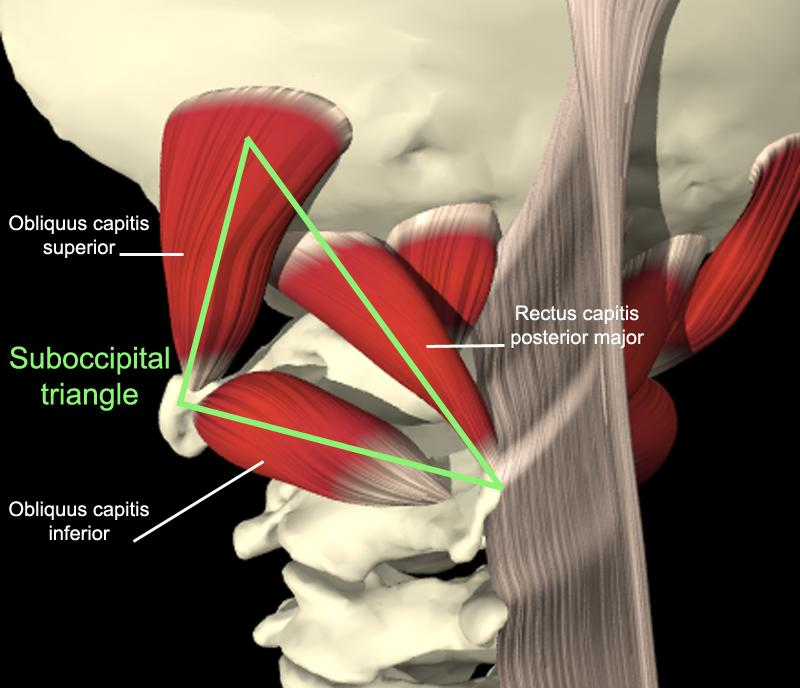 muscles sub-occipitaux