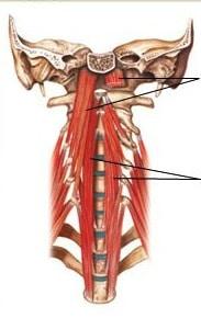 muscles profonds des cervicales