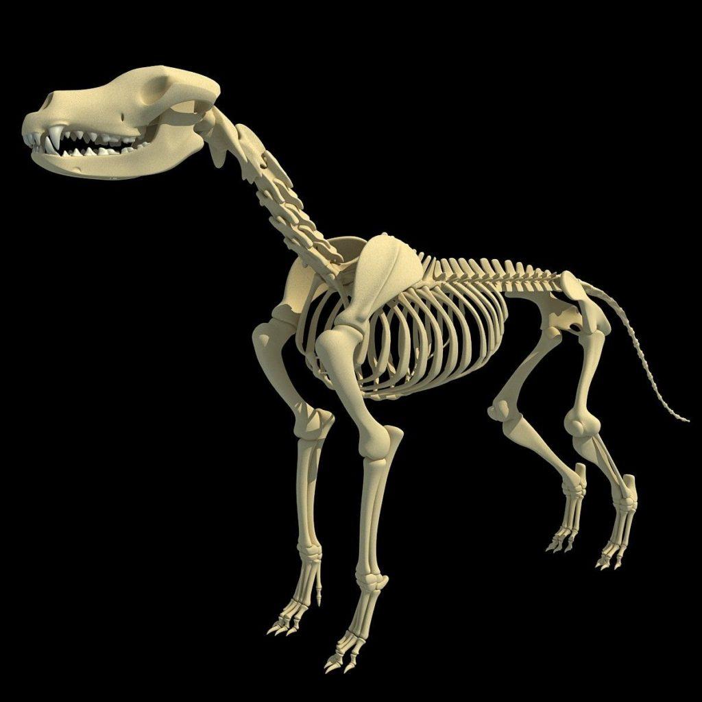 chiropractie canine: le squelette du chien