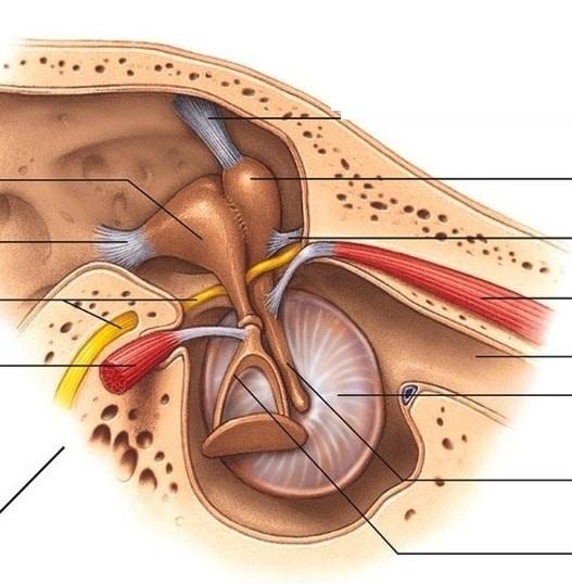 chiropracite et audition: les acouphènes
