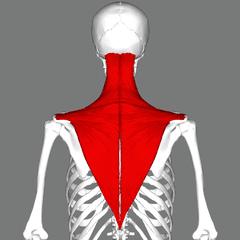 le trapèze en chiropractie