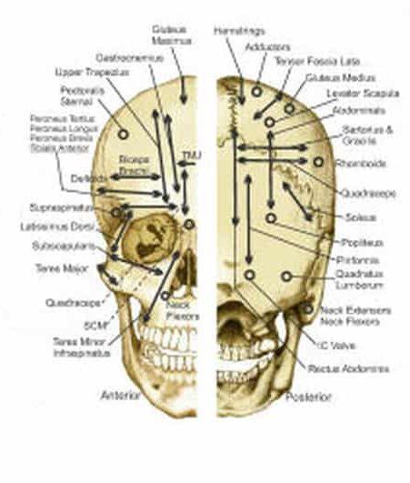 points neurovasculaires en kinésiologie